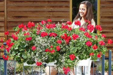 umetne geranije balkonske rože
