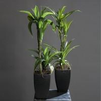 umetna palma juka yucca