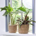 BONSAI dekorativne rastline