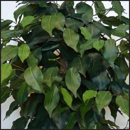 umetno listje fikus benjamin