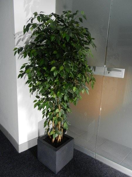 Dekobaum Ficus